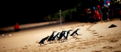 澳洲墨爾本.市區半日遊、企鵝島看企鵝搖擺屁股回家 @愛吃鬼芸芸