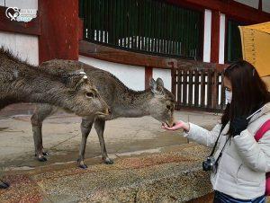 今日熱門文章:關西.奈良鹿公園+東大寺,梅花鹿可愛又可恨!