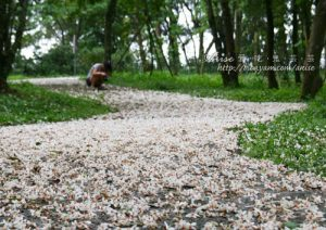 今日熱門文章:2011油桐花季 – 三義秘密小徑 (下) – 苗51-1、峰州→久松、四月雪小徑→五月雪小徑(5/6)
