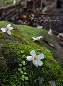 今日熱門文章:2011油桐花季 @ 南庄護魚步道 (5/5)