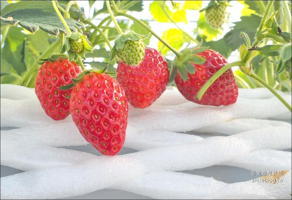 栃木縣草莓