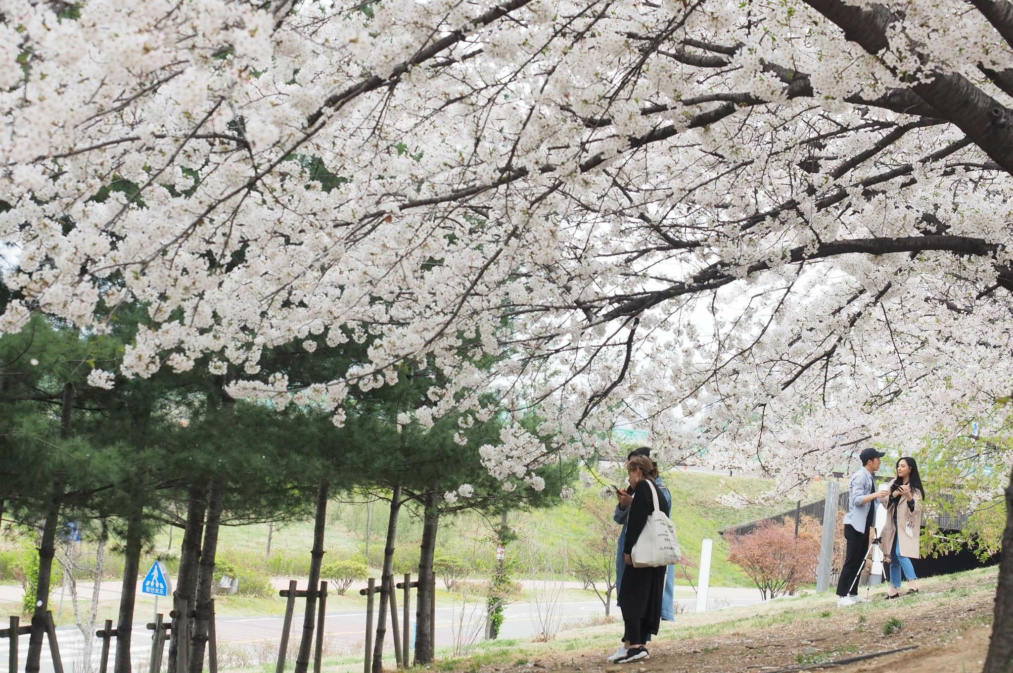 首爾櫻花景點 | 石村湖、汝矣島、首爾森林 @愛吃鬼芸芸
