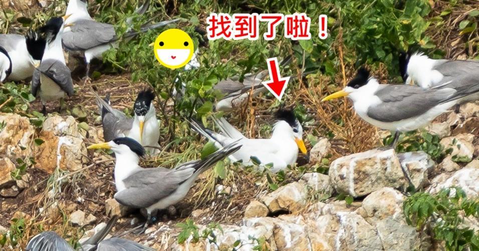網站近期文章:全球僅存百隻 「神話之鳥」,黑嘴端鳳頭燕鷗,馬祖北竿看得到!