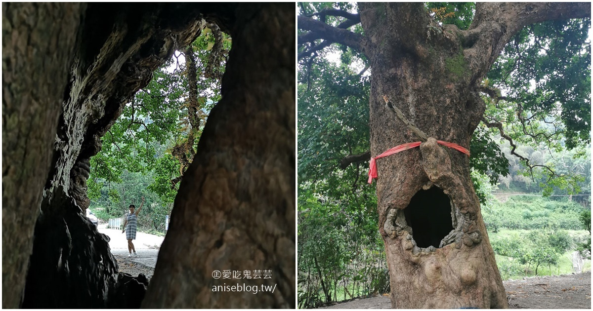 茄苳神木,300歲老神木樹洞裡藏著台灣!😍 @愛吃鬼芸芸
