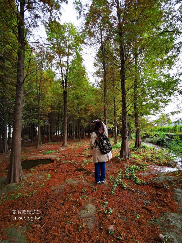 八德落羽松森林+波斯菊花海,可愛極了!