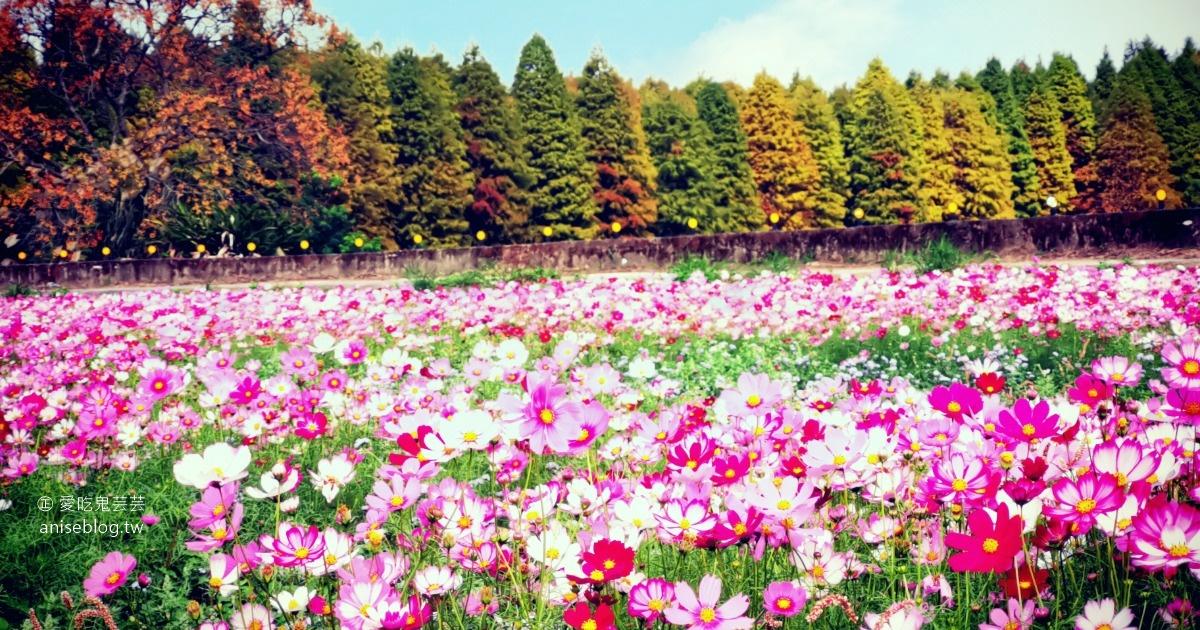 網站近期文章:八德落羽松森林+波斯菊花海,可愛極了!